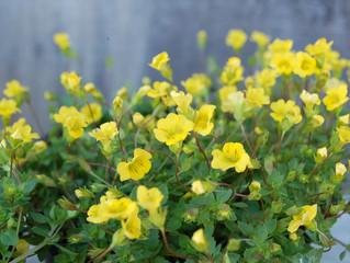 Mecardonia grandiflora 'Garden Freckles'™