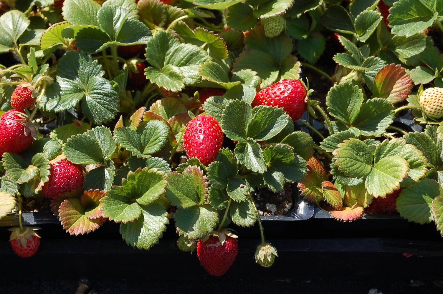 Strawberry Sequoia 005