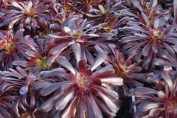Aeonium arboreum Zwartkop 006