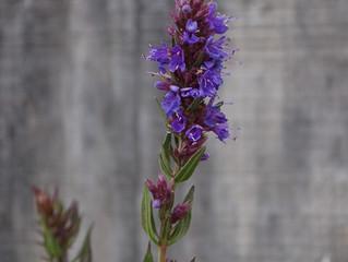 Hyssop officinalis (Hyssopus officinalis)