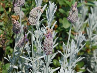 Lavandula stoechas 'Silver Anouk' (Spanish Lavender)