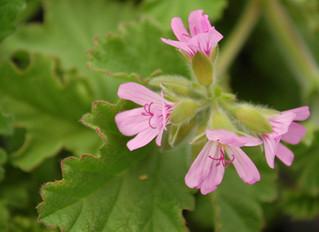 Scented Geranium 'Attar of Roses' (Pelargonium capitatum)