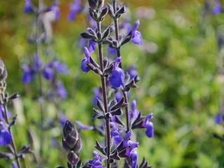 Salvia chamaedryoides 'Marine Blue' (Marine Blue Germander Sage)