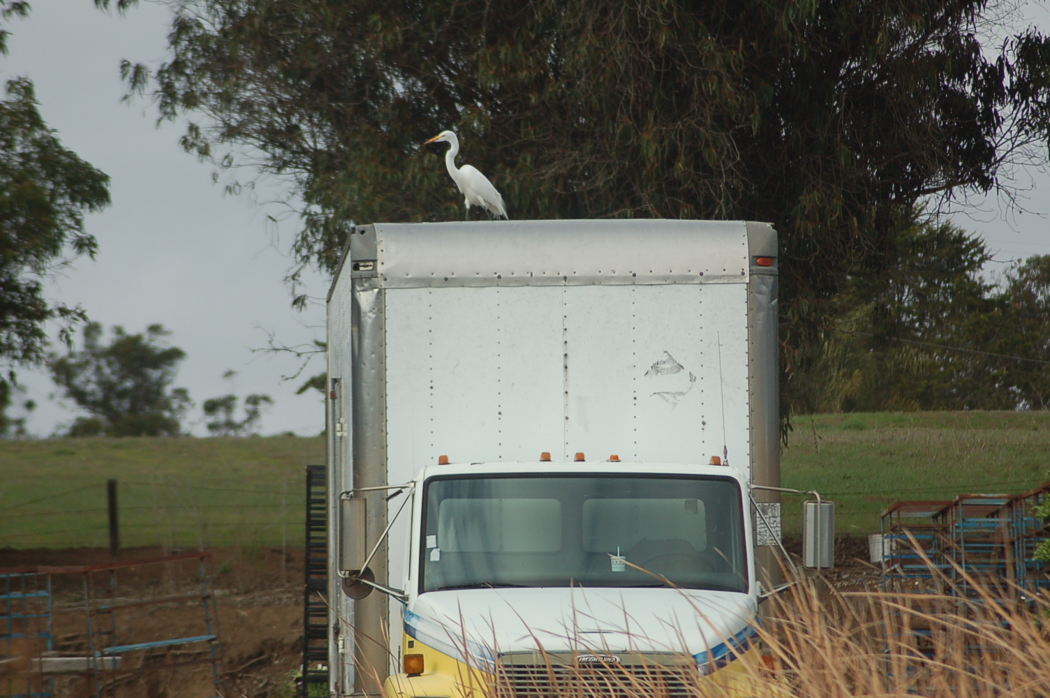 Snowy Egret on delivery truck