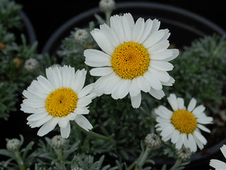 Leucanthemum hosmariense 'Moroccan Daisy'