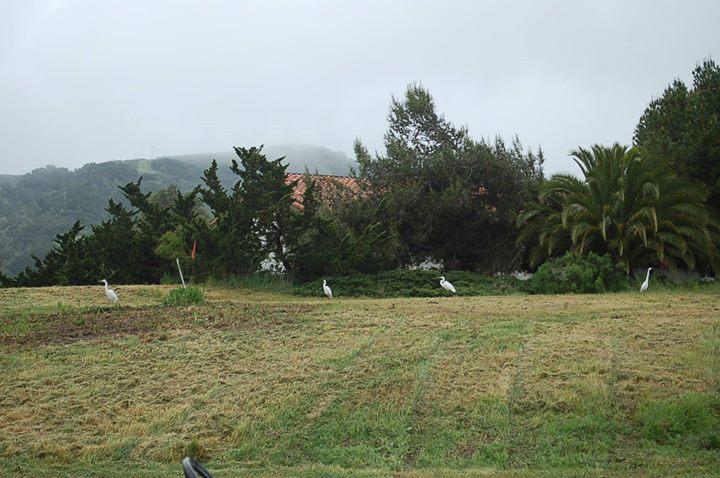 Four Snowy Egrets