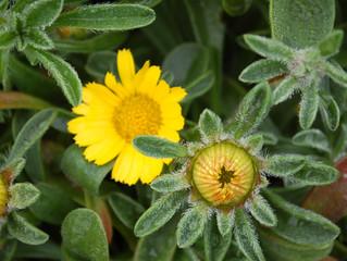 Asteriscus maritimus 'Gold Coin' (Pallenis maritima, Odontospermum maritimum)