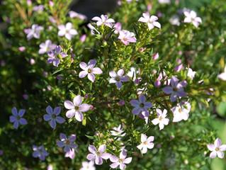 Coleonema pulchellum 'Pink Breath of Heaven' (C. pulchrum)