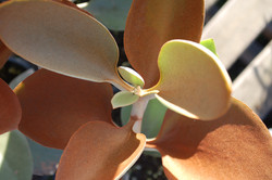 Kalanchoe orgyalis Copper Spoons 002