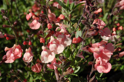 Salvia greggii and microphylla 044