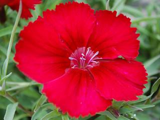 Dianthus chinensis 'Venti Parfait™ Crimson'