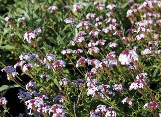 Verbena lilacina 'Paseo Rancho' (Paseo Rancho Cedros Island Verbena)