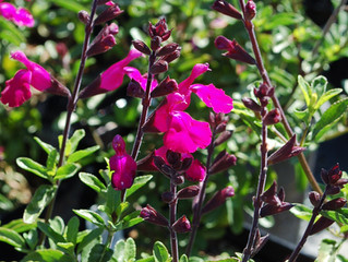 Salvia microphylla 'Heatwave™ Brilliance'