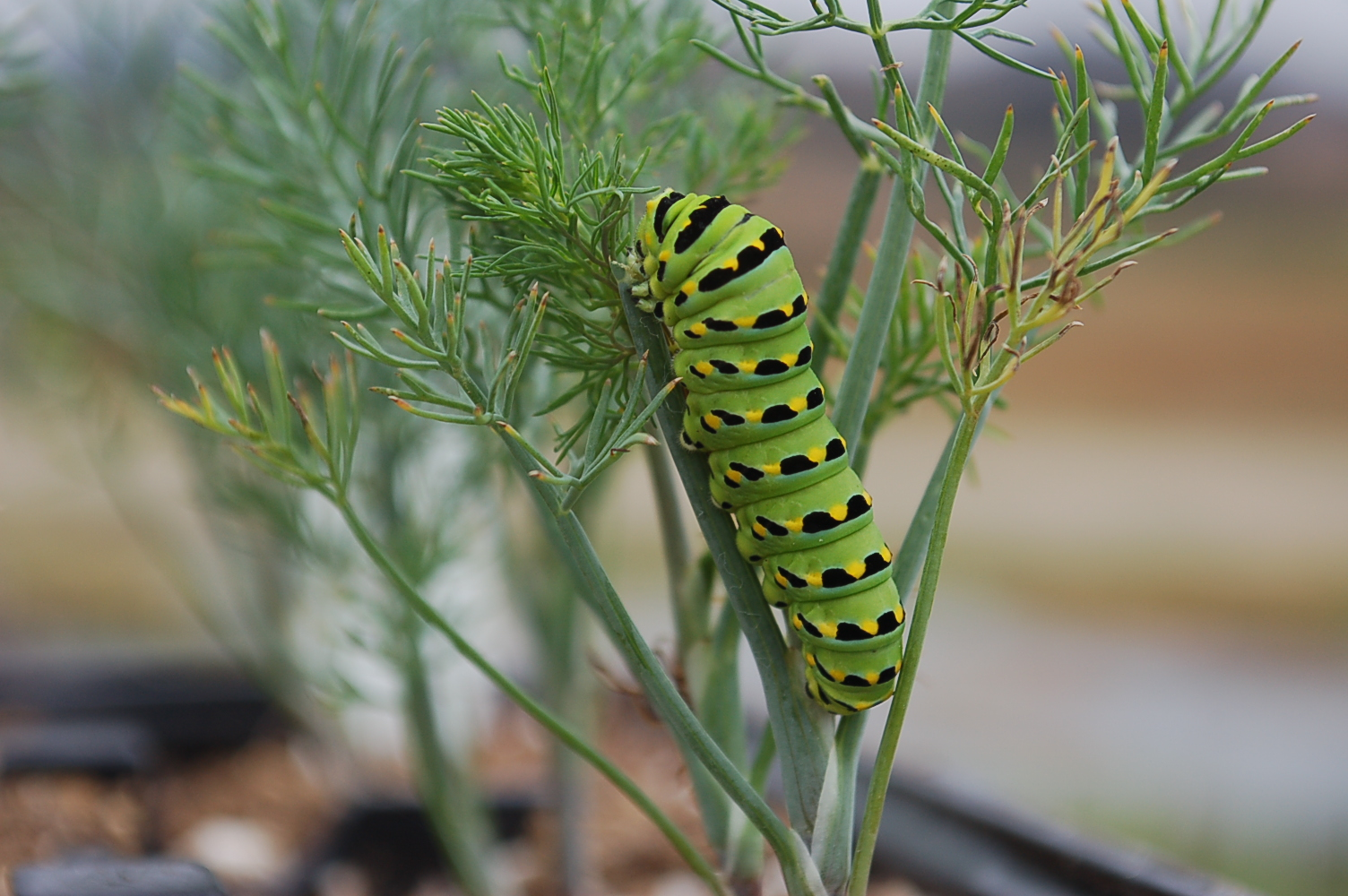 Yellowtail caterpillar on Dill