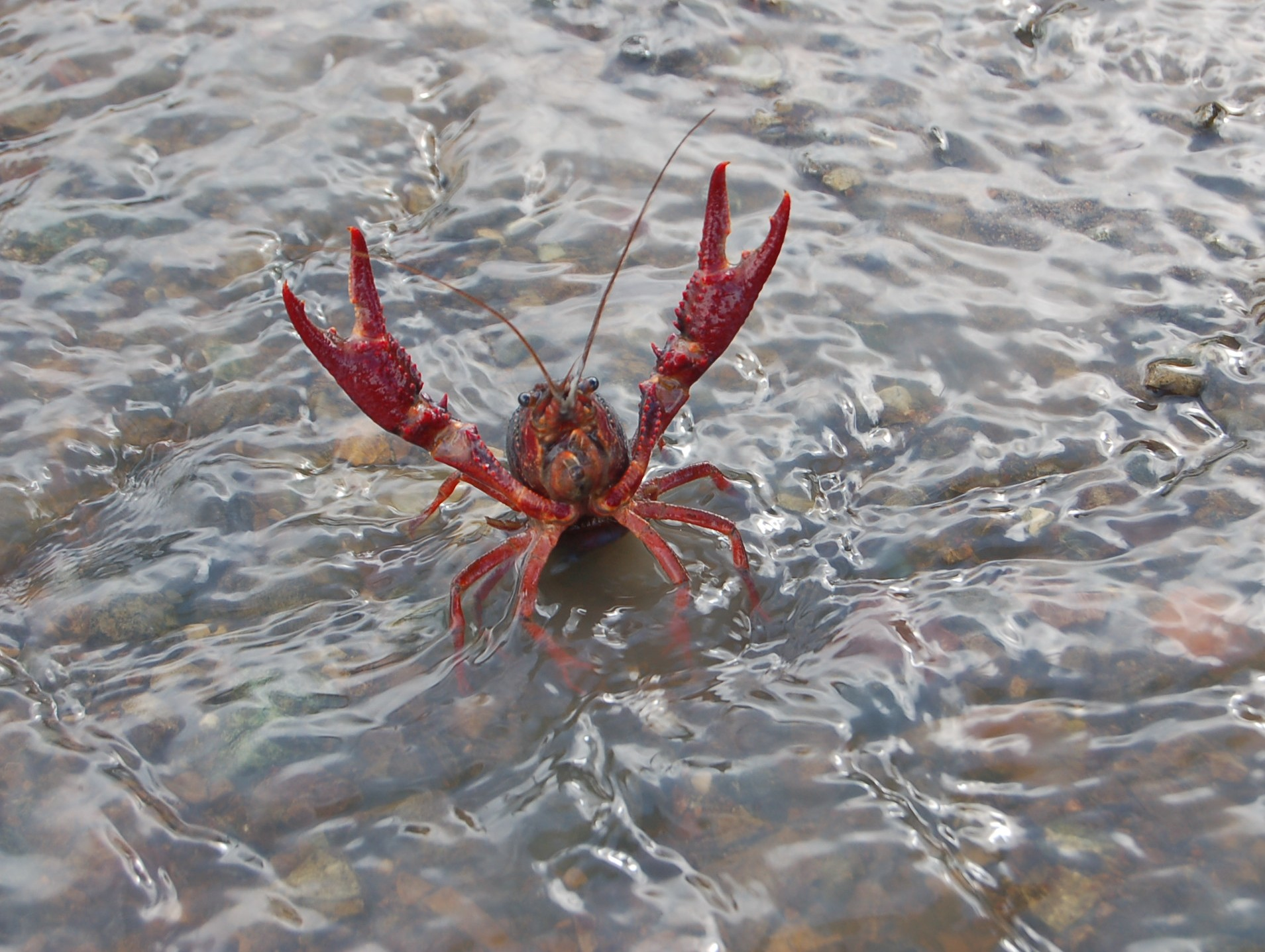 Crayfish out for a walk in the rain