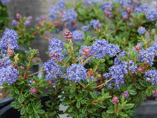 Ceanothus 'Julia Phelps' (Small Leaf Mountain Lilac)