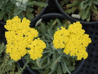 Achillea x 'Moonshine' (Yellow Yarrow)