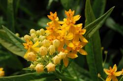 Asclepia curassavica 'Silky Gold'