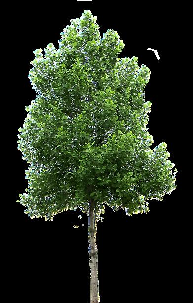small-trees-birch-deciduous-clip-art-tre