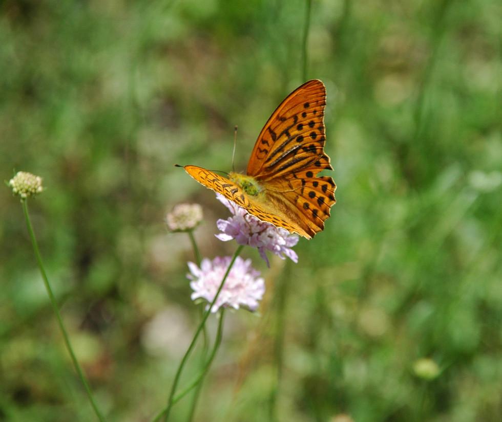 scabieuse et papillon.jpg