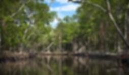 Florida's-mangroves-may-soon-be-underwat