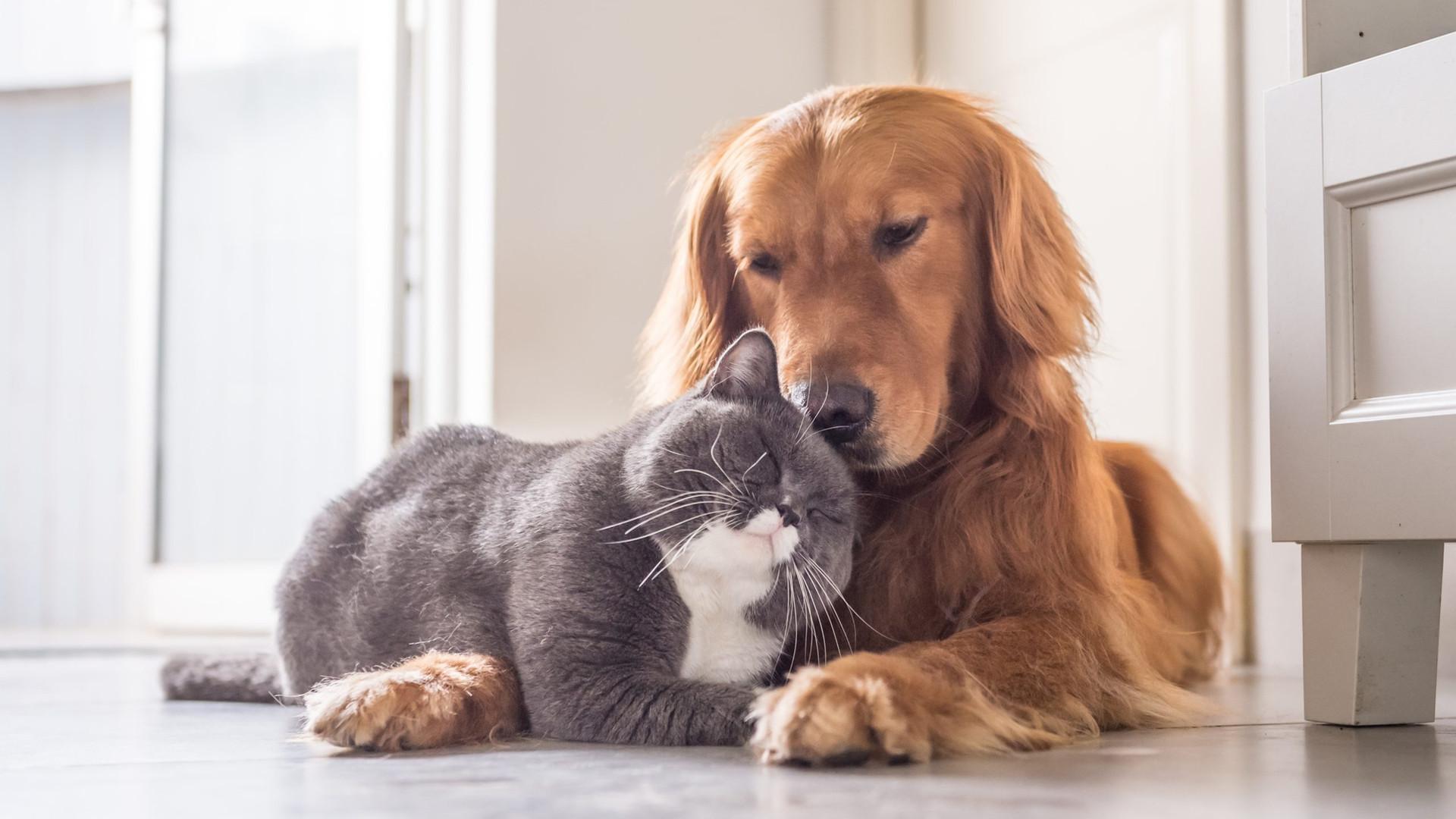 British-cat-and-Golden-Retriever-scaled.