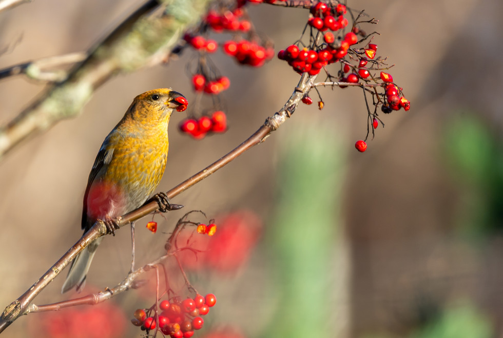 yellow-common-crossbill-bird-eating-red-