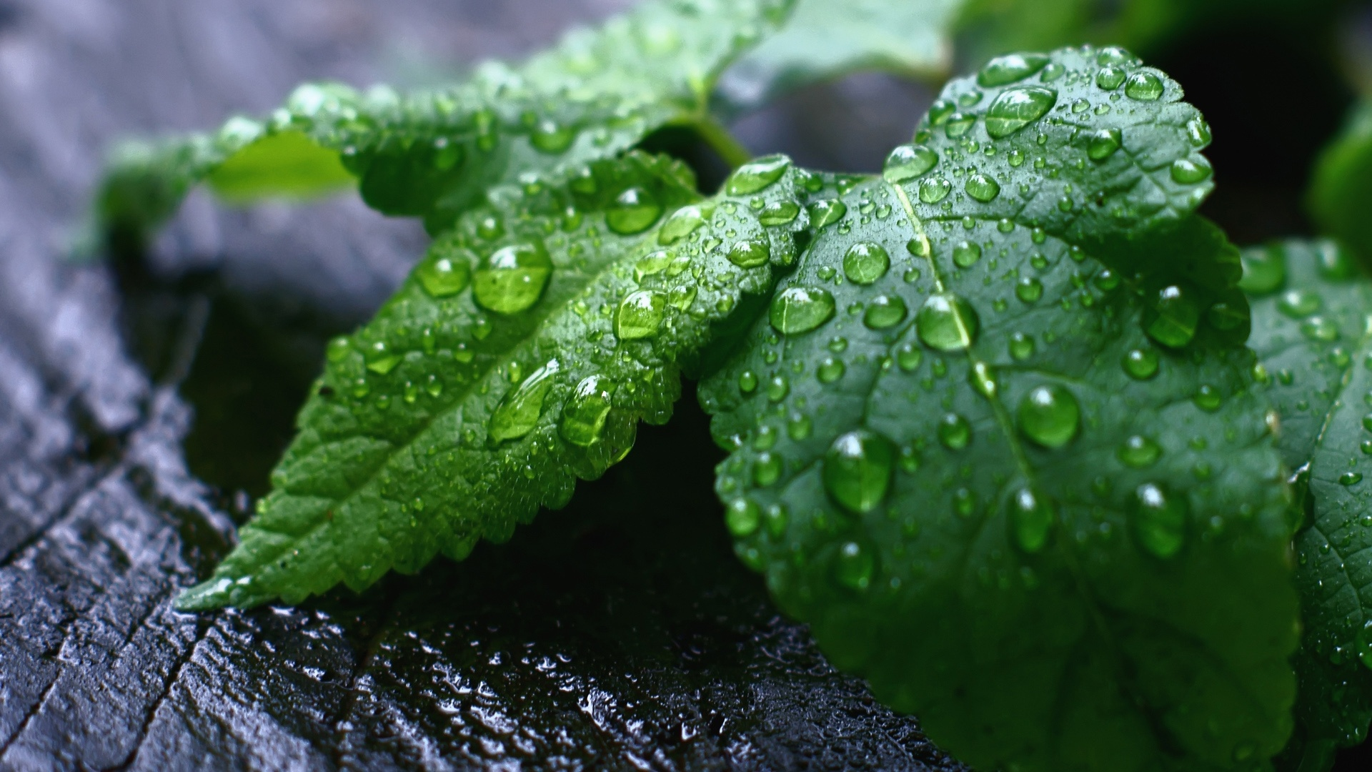 fresh_mint_leaves-1920x1080