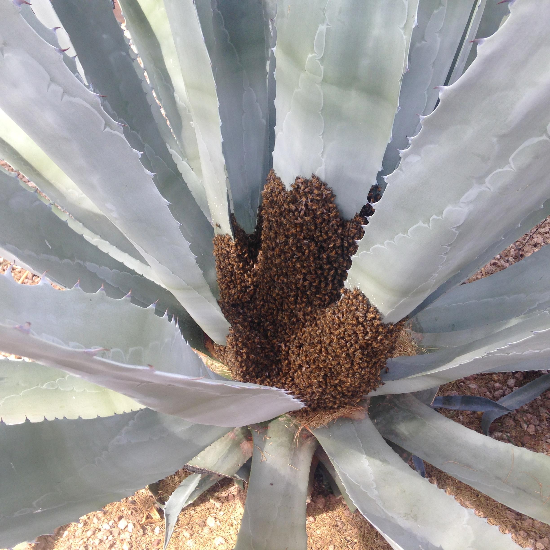 Agave swarm
