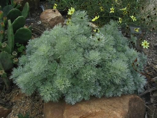 Artemisia1.jpg