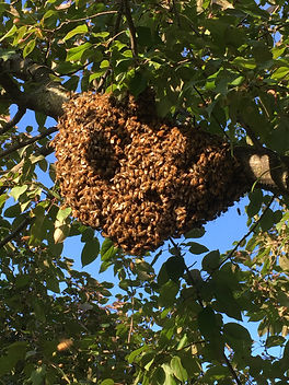 Swarm Rmoval wiscnsin werning apiaries