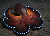 Blue Glowing cocunut Octo.jpg