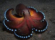 Blue Glowing cocunut Octo.jpg