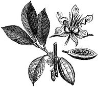 cacaoflower.jpg