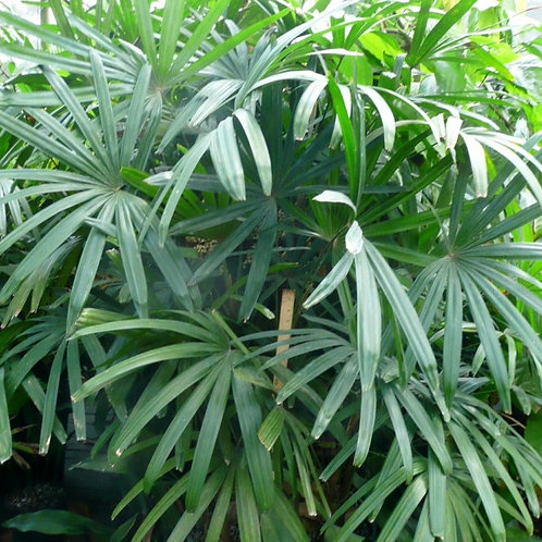 Palm-Rhapis excelsa
