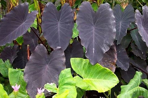 "Colocasia ""Black Ruffles"""