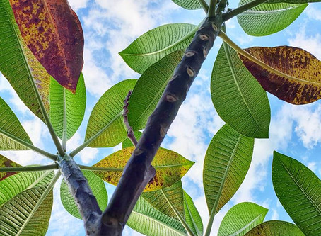 Is your Plumeria-Frangipani losing leafs already?