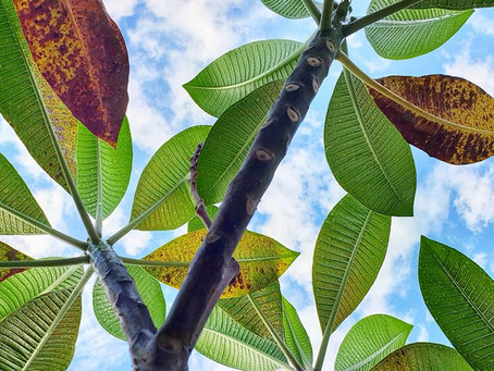 Is your Plumeria-Frangipani losing leafs already?