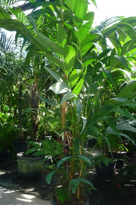 Palm- Pinanga kuhlii