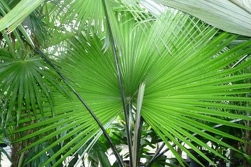 Palm-Kerriodoxa elegans