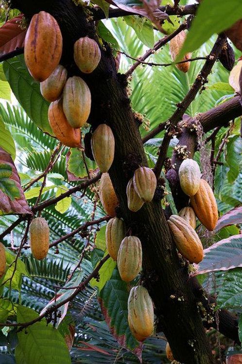 Theobroma cacao 'Chocolate Tree'