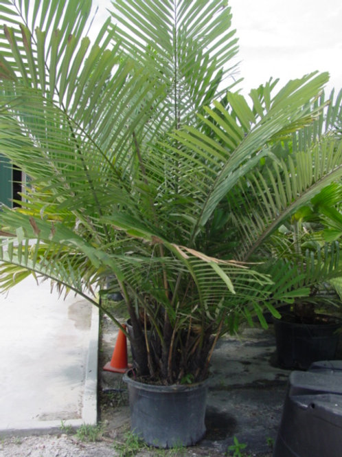 Palm-Arenga engleri