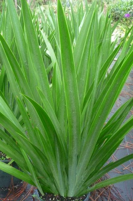 """Neomarica regina """"Walking iris"""""""