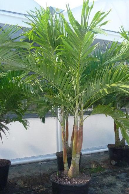 "Palm-Adonidia merrilii ""Christmas Palm"""