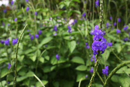 Stachytarpheta Purple