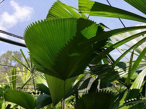 Palm-Licuala elegans