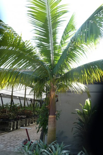 Palm-Satakentia liukiuensis