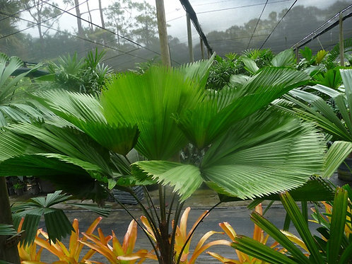Palm-Licuala grandis