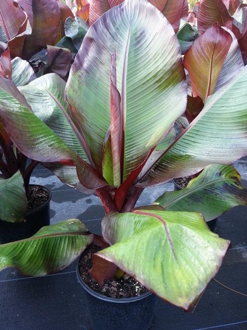 Banana-Ensete maurelii 'Red Abyssinian'