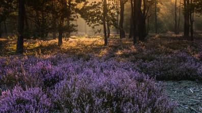 Wrzosowy las